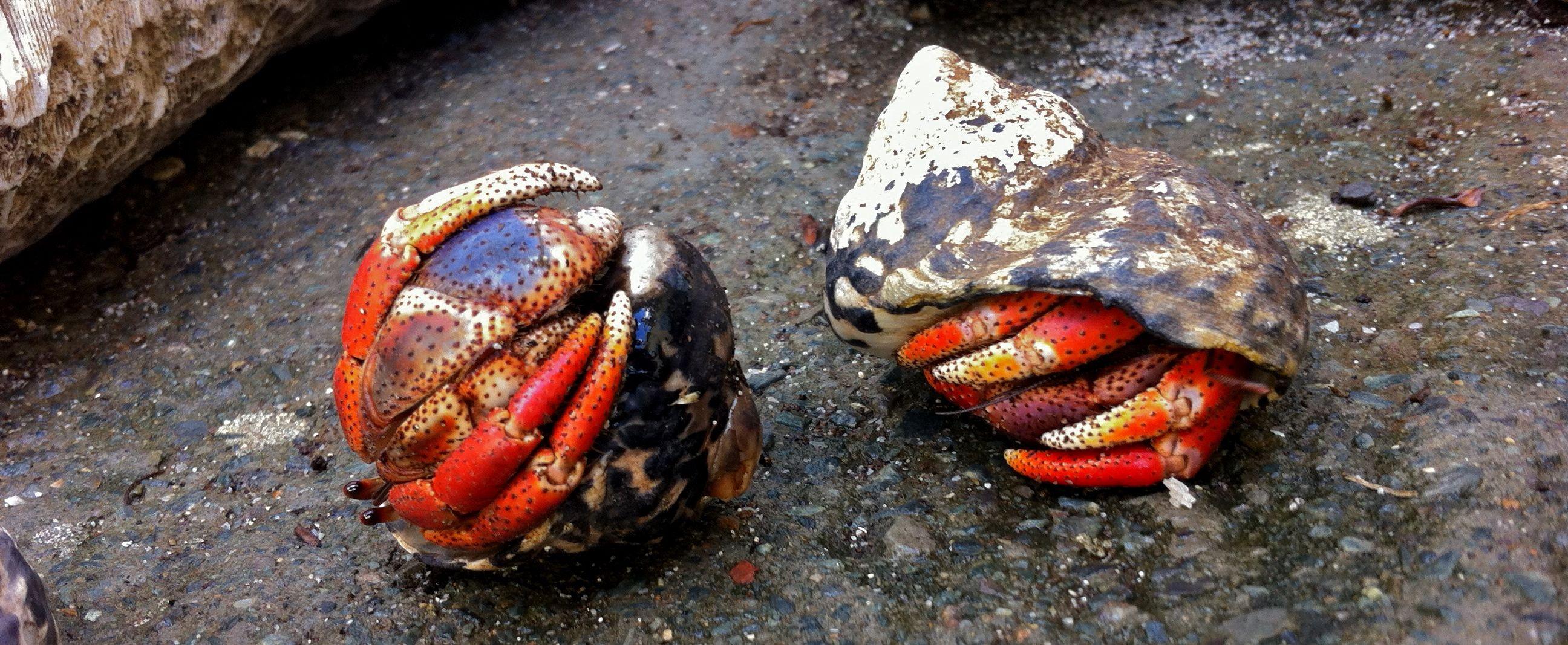 Blue Land Hermit Crab Land Hermit Crabs