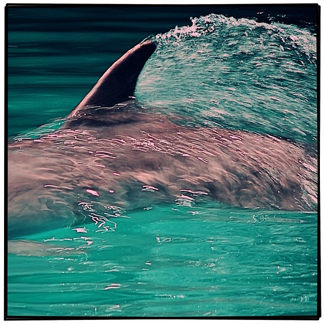 A Doll Fin. The Atlantic bottlenosed dolphin can reach speeds up to 25 mph but usually swim between 5 and 8 mph. This rascal was clocked at 9.31415926 mph