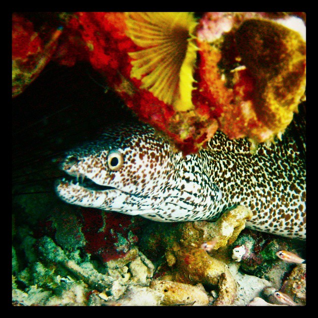 Spotted Moray Eel. Today's highlight.