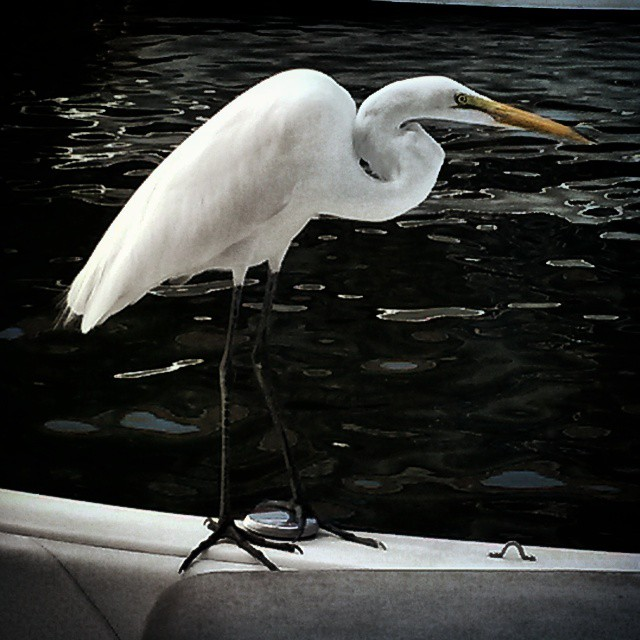 Great Egret on Blue.